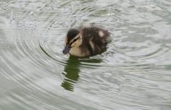 Natation de caneton dans l'étang Photos libres de droits