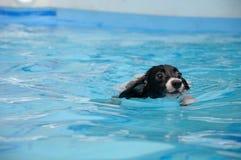Natation de chien Photo libre de droits