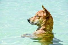 Natation de chien et jouer en mer Photos stock