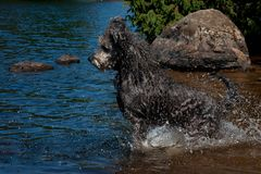 Natation de chien de Pumi dans l'eau Photographie stock