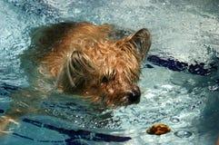 Natation de chien terrier de cairn photographie stock libre de droits