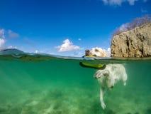 Natation de chien - vues du Curaçao photos stock