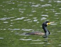 Natation de Cormorant sur le lac Photos stock