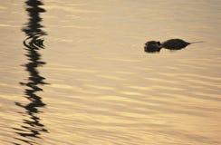 Natation de coucher du soleil image libre de droits