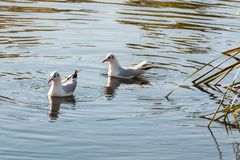 Natation de couples d'oiseau dans le lac en parc de Campbell en automne Photographie stock libre de droits