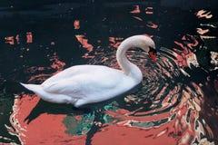 Natation de cygne dans l'eau foncée avec des réflexions et des ondulations rouges Photos libres de droits