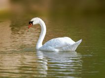 Natation de cygne dans l'eau de lac au lever de soleil image libre de droits