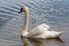 Natation de cygne dans le lac Photo stock