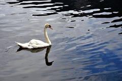Natation de cygne dans le lac Image stock