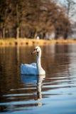 Natation de cygne dans le lac au coucher du soleil Photo stock