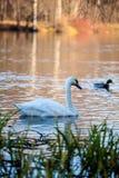 Natation de cygne dans le lac au coucher du soleil Photographie stock