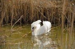 Natation de cygne dans un étang parmi les roseaux secs Photo stock