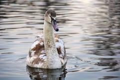 Natation de cygne muet dans l'étang Photo libre de droits