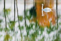 Natation de cygne muet dans un lac avec refléter les arbres automnaux photographie stock libre de droits