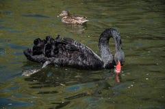 Natation de cygne noir dans l'eau Images stock