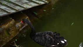 Natation de cygne noir dans un étang calme en parc dans 4K banque de vidéos