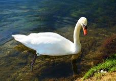Natation de cygne sous des rayons du soleil à côté du rivage de lac Images libres de droits