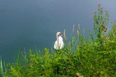 Natation de cygne sur le lac Photo libre de droits