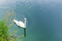 Natation de cygne sur le lac Photos libres de droits