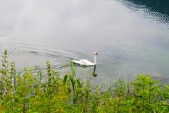 Natation de cygne sur le lac images stock