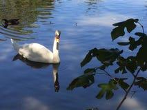 Natation de cygne sur un lac avec d'autres oiseaux Image stock