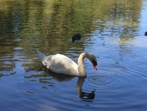 Natation de cygne sur un lac avec d'autres oiseaux Images stock