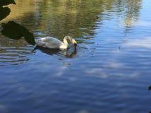 Natation de cygne sur un lac avec d'autres oiseaux Photos libres de droits
