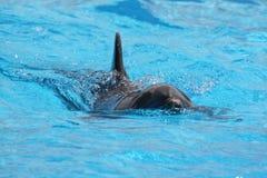 Natation de dauphin dans l'eau bleue Photographie stock