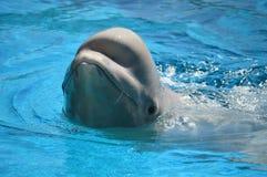 Natation de dauphin dans l'eau bleue Photo stock