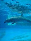 Natation de dauphin dans le réservoir de piscine Images stock