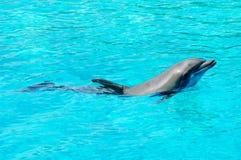 Natation de dauphin dans un regroupement Image stock