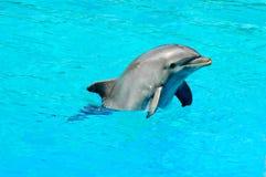 Natation de dauphin dans un regroupement Photographie stock