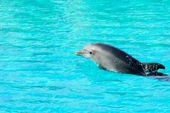Natation de dauphin dans un regroupement Images libres de droits