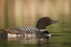 Natation de dingue dans un lac Photographie stock libre de droits