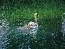 Natation de famille de cygne dans le schoenenwerd bally de parc photographie stock