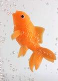 Natation de Goldfish avec des bulles Photos libres de droits