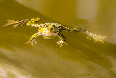 Natation de grenouille verte dans l'eau Images stock