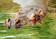Natation de Hippopotamus dans l'eau Photo stock