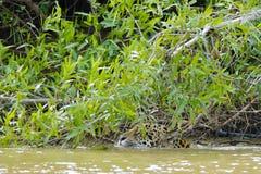 Natation de Jaguar de plan rapproché (tête seulement) en rivière sous des buissons Image stock