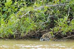 Natation de Jaguar de plan rapproché (tête seulement) en rivière sous des buissons Image libre de droits
