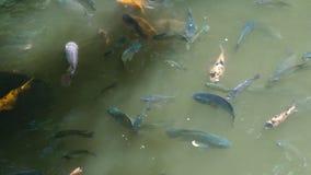 Natation de koi de carpe de poissons dans l'eau transparente dans l'étang de jardin Fin vers le haut des poissons nageant dans l' banque de vidéos