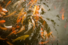 Natation de Koi dans l'étang Photo libre de droits
