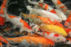 Natation de Koi Fish dans l'eau photos stock
