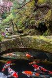 Natation de Koi sous le pont en pierre dans un jardin japonais avec des fleurs de cerisier à l'arrière-plan Photo stock