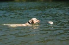 Natation de Labrador avec le canard Photo libre de droits
