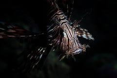 Natation de Lionfish dans l'eau foncée dans Alor, Indonésie Image libre de droits