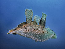 Natation de Melibe en mer bleue photo stock