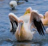 Natation de pélican dans l'eau dans tout le pulvérisateur de Lac Nakuru kenya l'afrique Photographie stock libre de droits