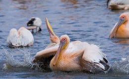Natation de pélican dans l'eau dans tout le pulvérisateur de Lac Nakuru kenya l'afrique Photos libres de droits