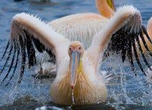 Natation de pélican dans l'eau dans tout le pulvérisateur de Lac Nakuru kenya l'afrique Image stock